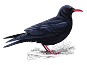 Picture of a chough